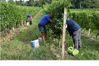 Odlični rezultati rane berbe grožđa u PP Orahovica