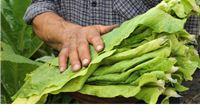 Krupan list: Ugovaranje proizvodnje duhana pri kraju, pocjenjuju se da će doći do pada proizvodnje u odnosu na prošlu godinu za 5 do 8 posto