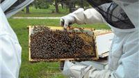 Veliki pomor pčela u košnicama