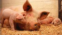 Zaštita domaćeg svinjogojstva od afričke svinjske kuge – sufinanciraju se dvostruke ograde u uzgojima svinja na otvorenom