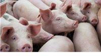 Izvanredna radionica Europske komisije o prevenciji afričke svinjske kuge – pr...