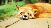 Započela proljetna akcija oralne vakcinacije lisica na području Hrvatske