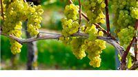 Uskoro novi natječaji za sektor vinarstva