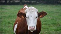 Isplaćeno više od 53 milijuna kuna potpore u sektoru govedarstva