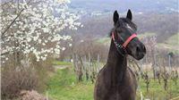 Za uzgoj toplokrvnih pasmina konja i očuvanje izvornih i ugroženih pasmina domaćih životinja 8,7 milijuna kuna