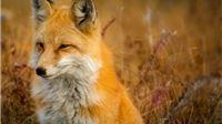 Počela proljetna akcija oralne vakcinacije lisica