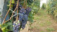 Šest milijuna kuna potpore regionalnim organizacijama vinara i vinogradara