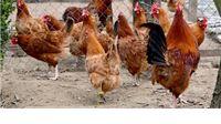 Usvojeni programi potpore za uzgoj izvornih pasmina peradi i stočarska uzgojna udruženja